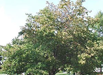 Hws a heritage of trees general growth structure leaves are alternate 4 to 10 inches long lustrous dark green in summer and yellow to yellow brown in winter mightylinksfo