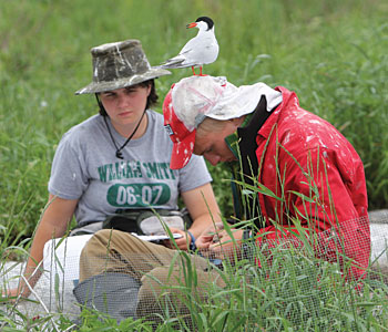 Smack dab in the drop zone of flying terns, elizabeth zinser '10 and Bob Taylor '11 banded chicks with project pufin of the coast of maine .
